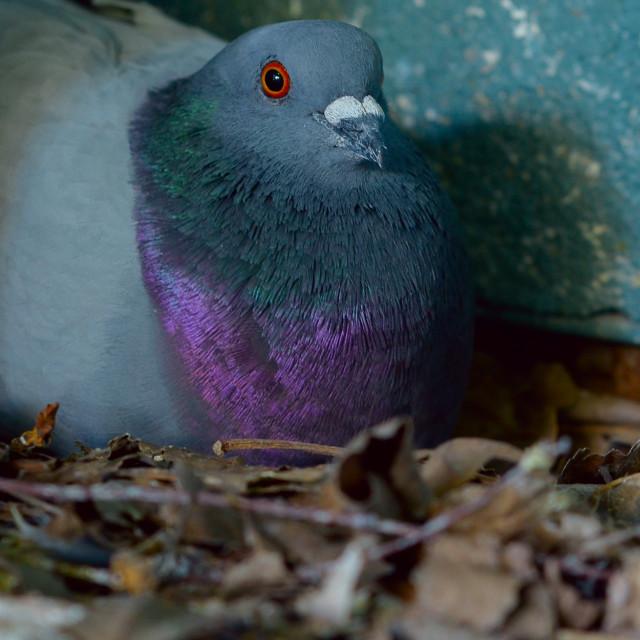 """Brooding pigeon"" stock image"