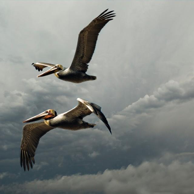 """""""Pelicans in Flight"""" stock image"""