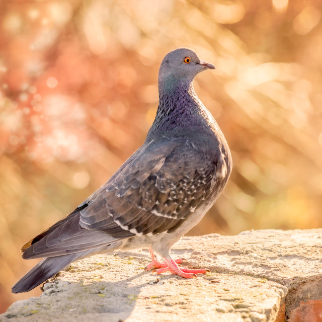 """""""Proud Pigeon on the Wall"""" stock image"""