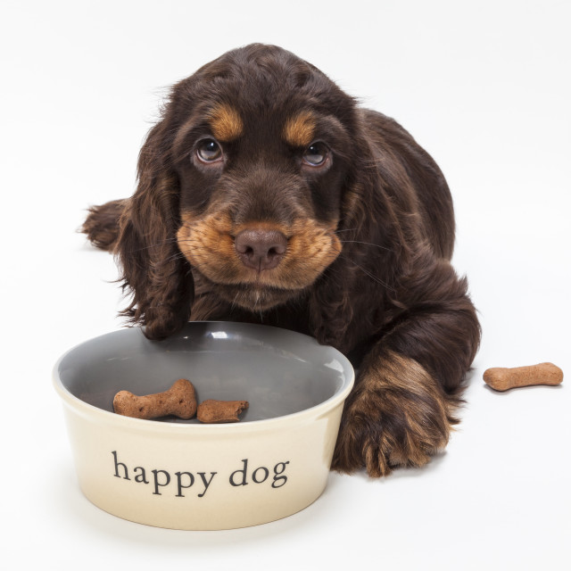 """""""Cute Cocker Spaniel Puppy Dog Eating Biscuits in Bowl"""" stock image"""