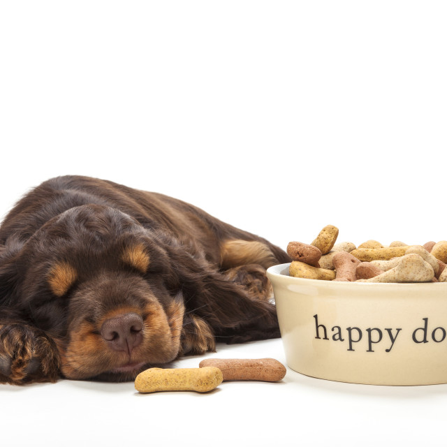 """""""Cute Cocker Spaniel Puppy Dog Sleeping by Bowl of Biscuits"""" stock image"""