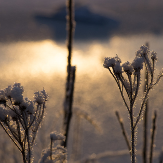 """Sunlit lake shore plants on a winter's day"" stock image"