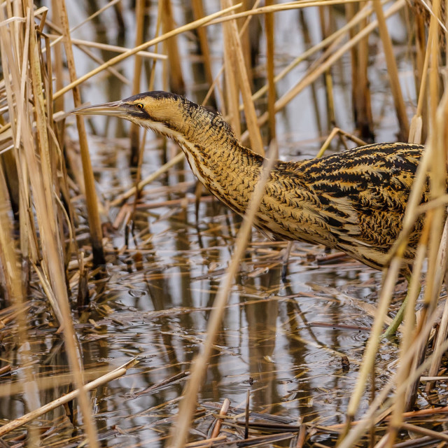 """""""Bittern in the Reeds"""" stock image"""