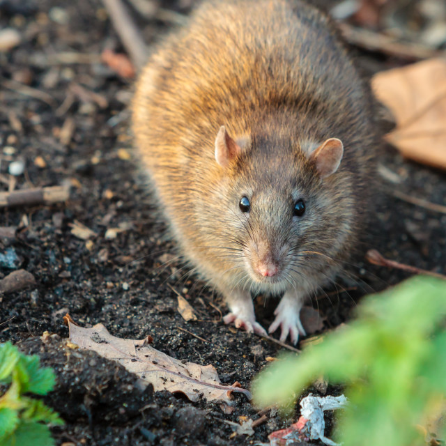 """Alert Brown Rat"" stock image"