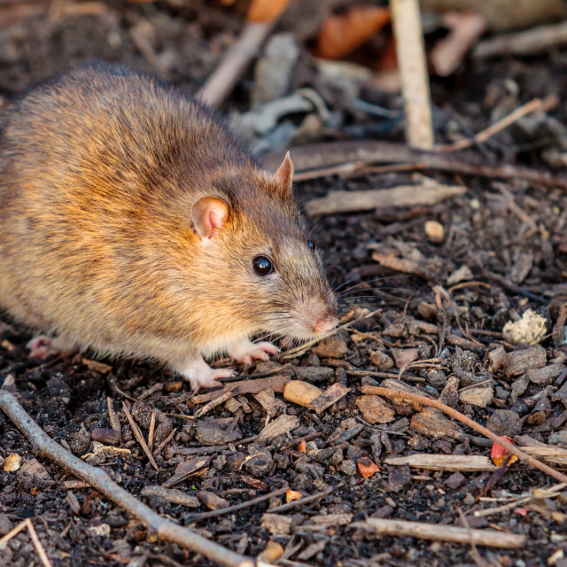 """Brown Rat watching the photographer"" stock image"