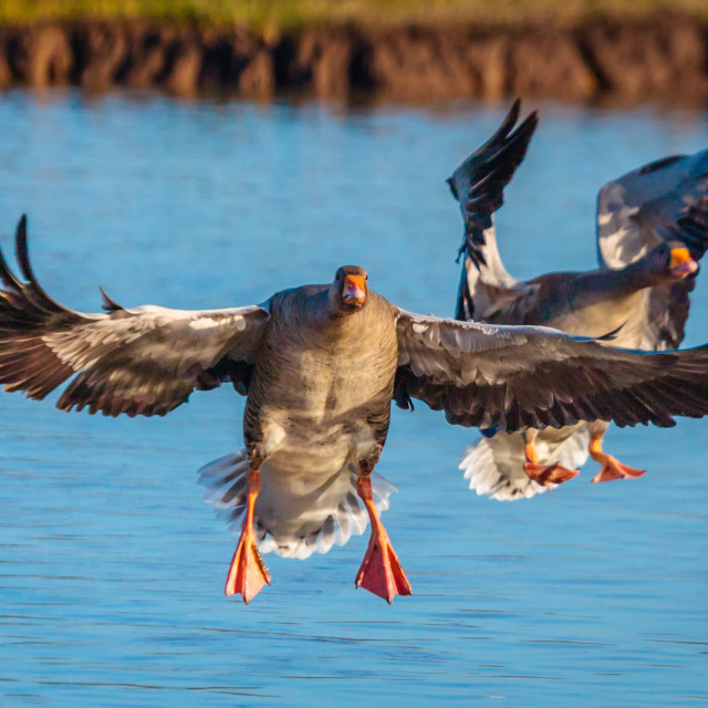 """Greylag Geese coming into land"" stock image"