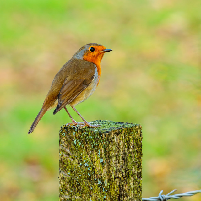 """Robin on a fence post"" stock image"