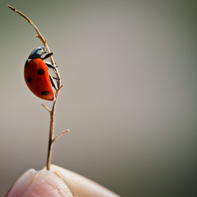 """Ladybird on Small Stem"" stock image"