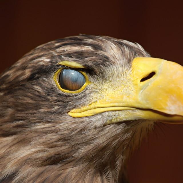 """Eyewink, Sea eagle (Haliaeetus albicilla)"" stock image"