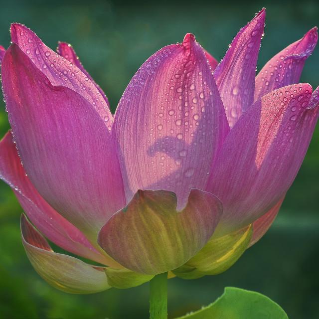 """""""lotus1"""" stock image"""