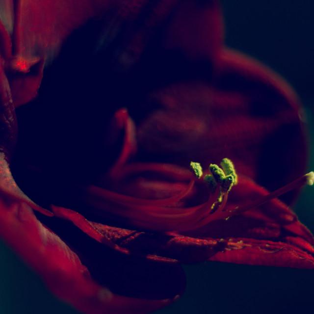 """""""Dark Red Amaryllis"""" stock image"""