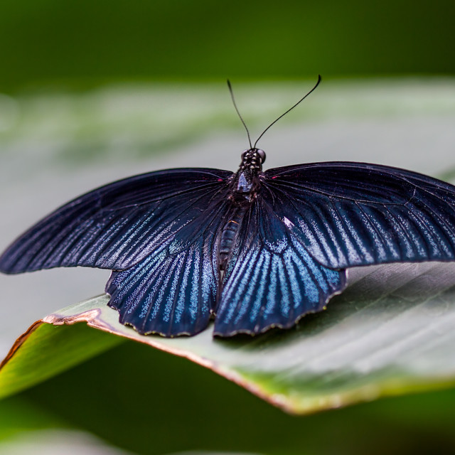 """Great Mormon (Papilio memnon)"" stock image"