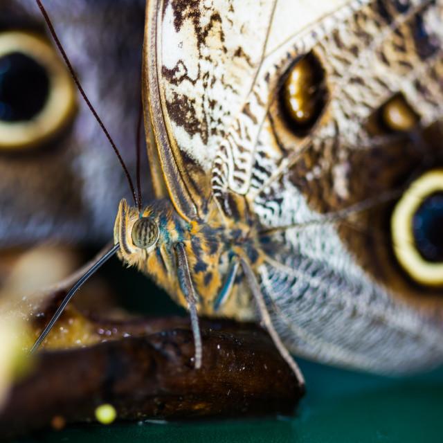 """""""Owl Butterfly (Caligo Mamnon)"""" stock image"""