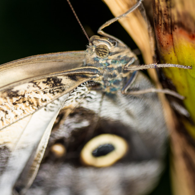 """""""Owl Butterfly (Cmemnon)"""" stock image"""