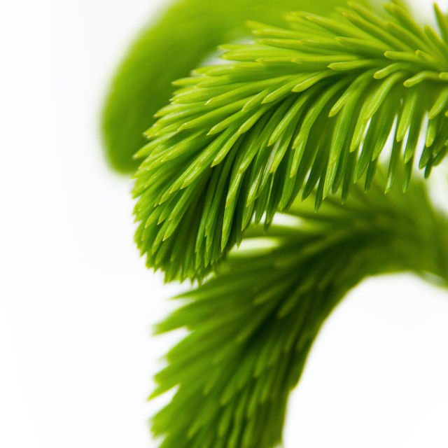 """Young spruce branch"" stock image"