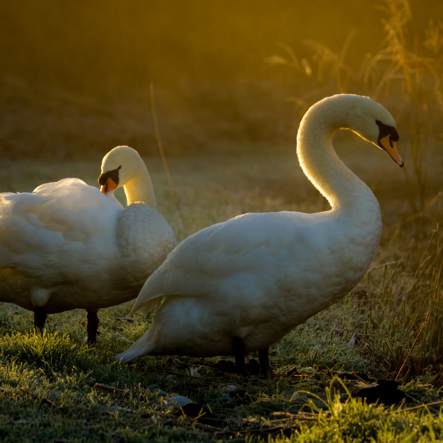 """Misty Morning Swans"" stock image"