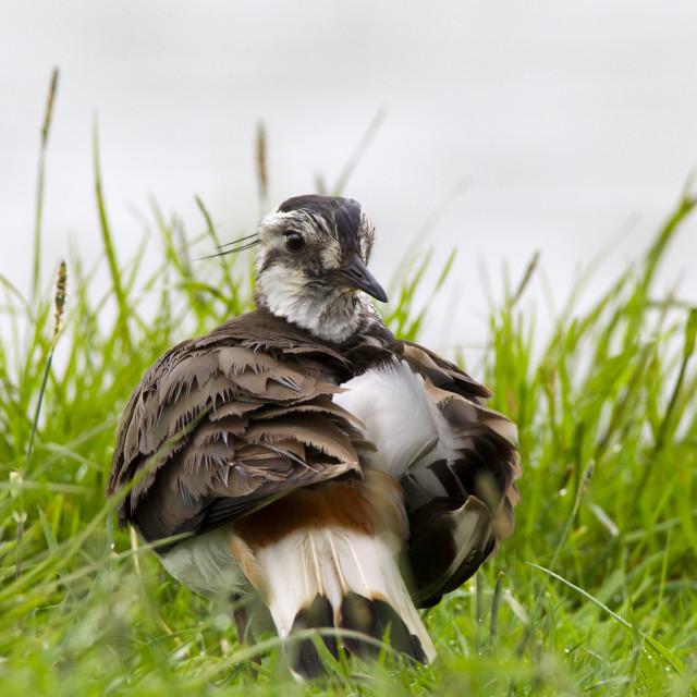"""Northern Lapwing, Kievit, Vanellus vanellus"" stock image"