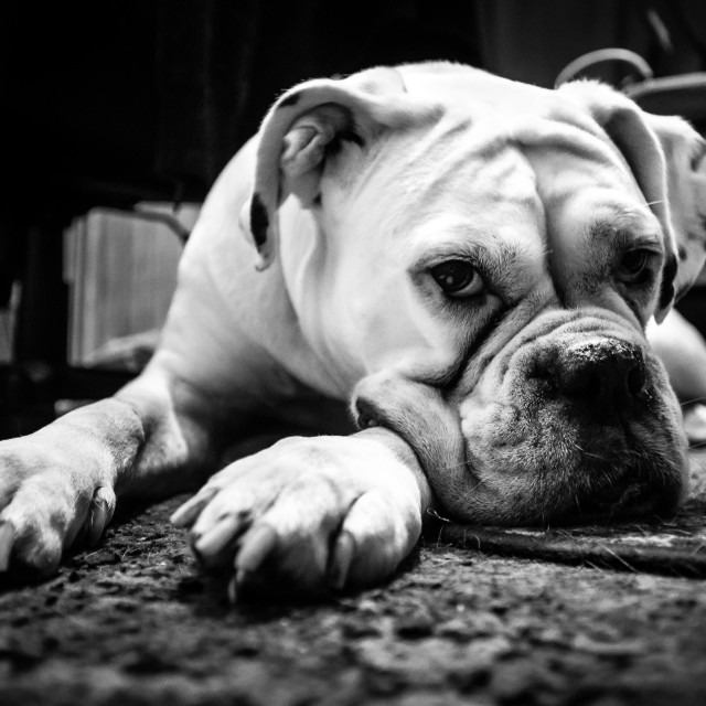 """Tired Boxer"" stock image"