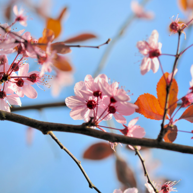 """""""spring pink flowers"""" stock image"""
