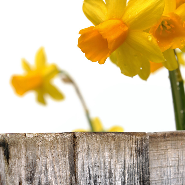 """close on daffodils"" stock image"