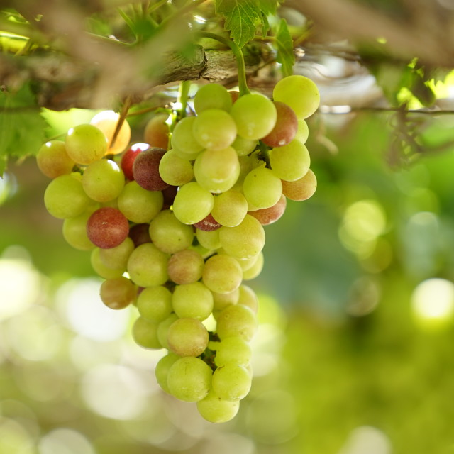 """Ninh Thuan grape fruit"" stock image"
