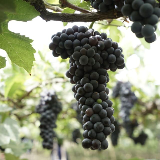 """""""Ninh Thuan grape fruit"""" stock image"""