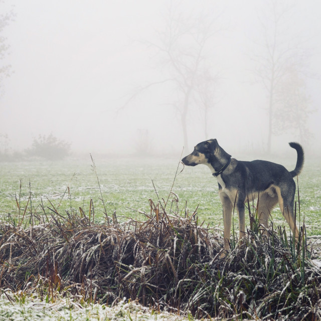 """Dog looking in the fog"" stock image"