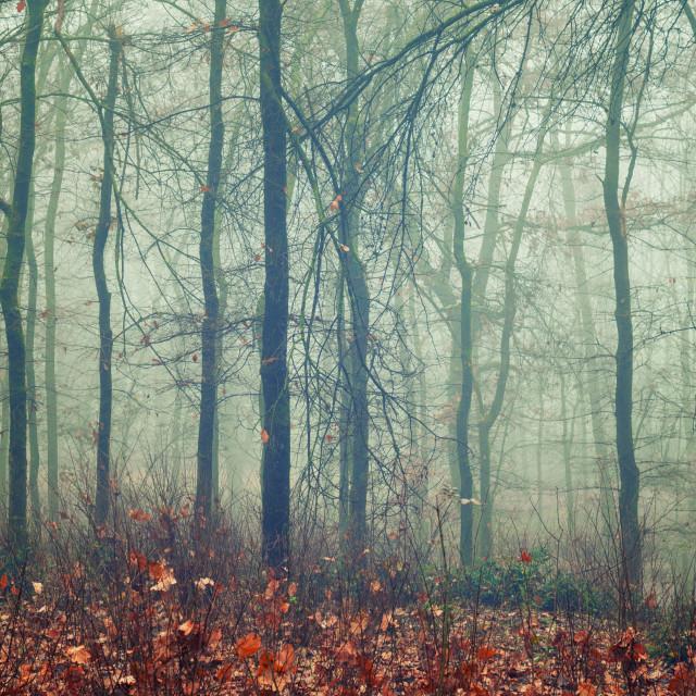"""""""Foggy woodland"""" stock image"""