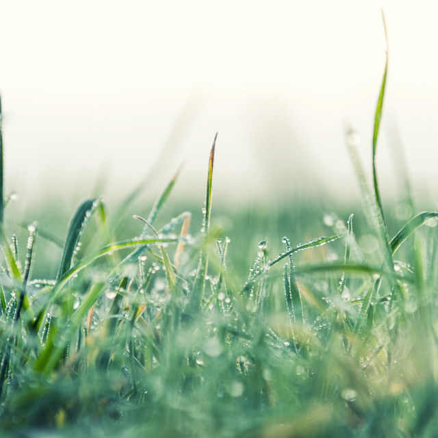 """Frozen dew on grass"" stock image"