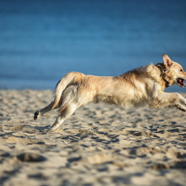 """Excited young golden retriever running and jumping on the beach"" stock image"