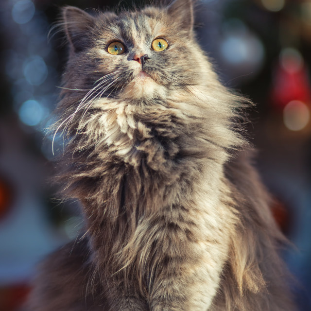 """Cute fluffy cat in front of the Christmas tree. Winter holidays"" stock image"