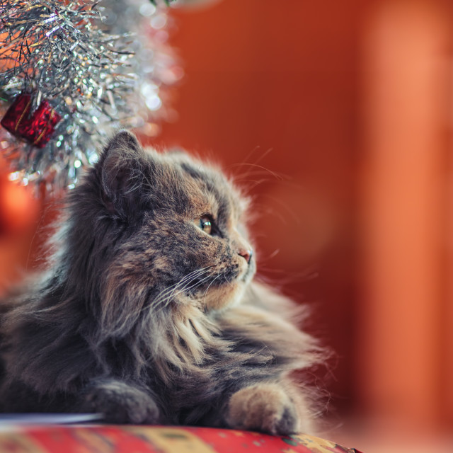 """Waiting Santa Claus concept. Cute cat laying over christmas pres"" stock image"
