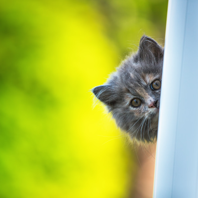 """""""Beautiful grey cat sitting on windowsill and looking outdoor"""" stock image"""