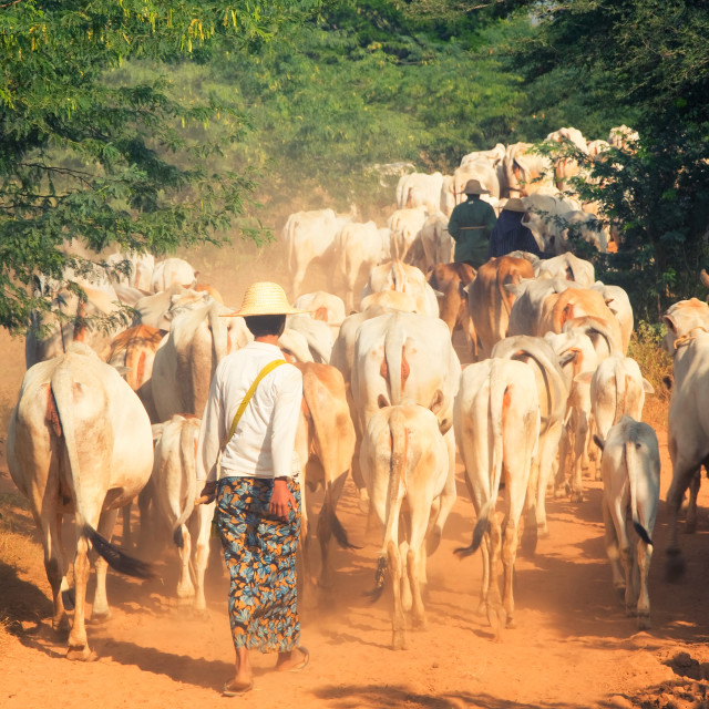 """Burmese farmers are controlling cows along dusty way to grass field"" stock image"