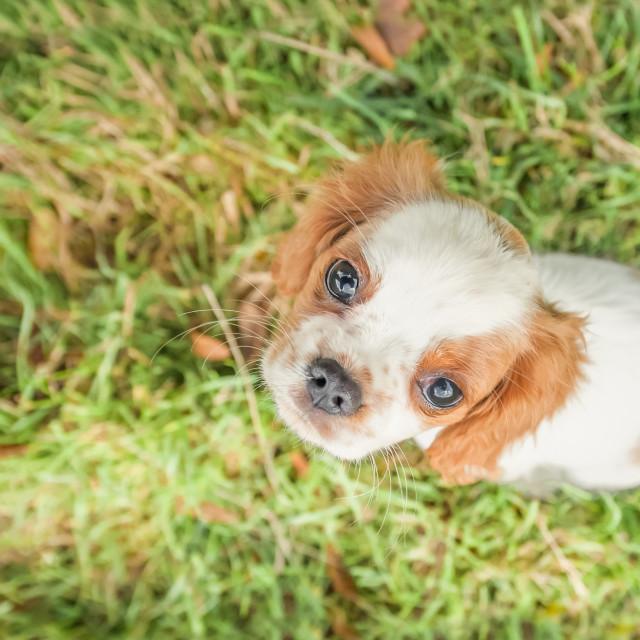 """spaniel puppy closeup"" stock image"