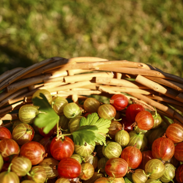 """Basket of gooseberries"" stock image"