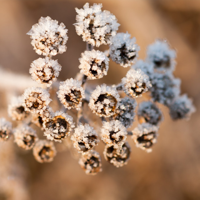 """Frost on plant"" stock image"