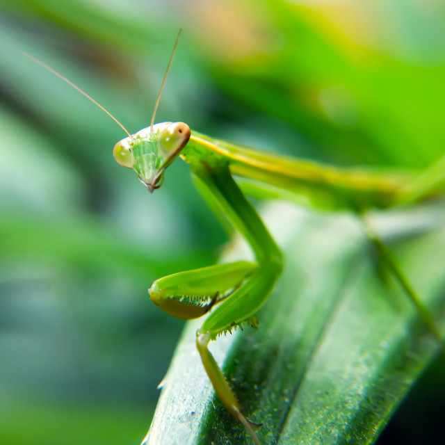 """Mantis"" stock image"