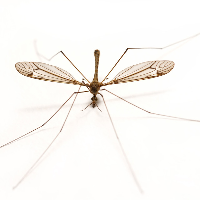 """Isolated Mosquito on White"" stock image"