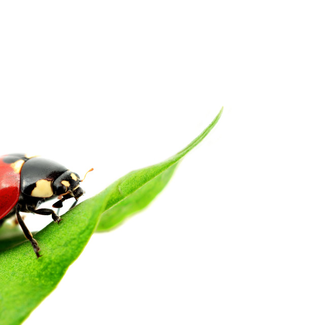 """Ladybug on green grass Isolated On White"" stock image"