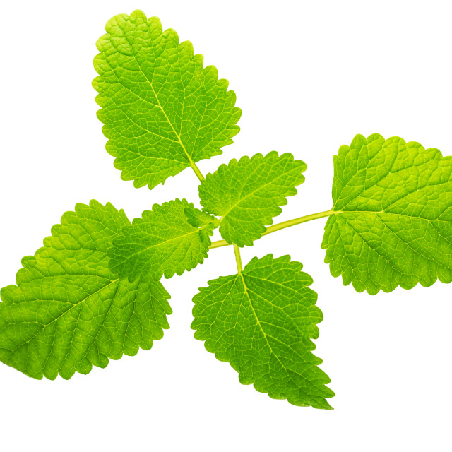 """""""Mentha or mint leaves isolated on white"""" stock image"""