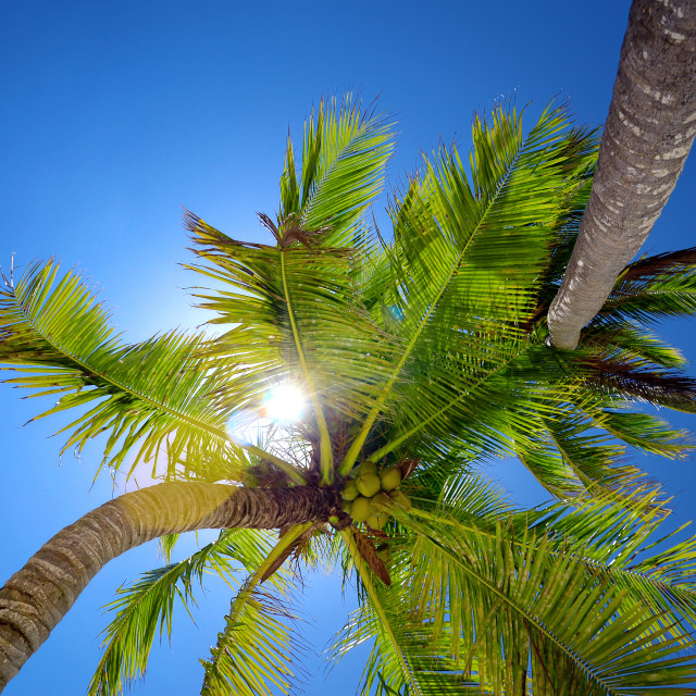 """""""Coconut palm trees in the blue sky perspective view"""" stock image"""
