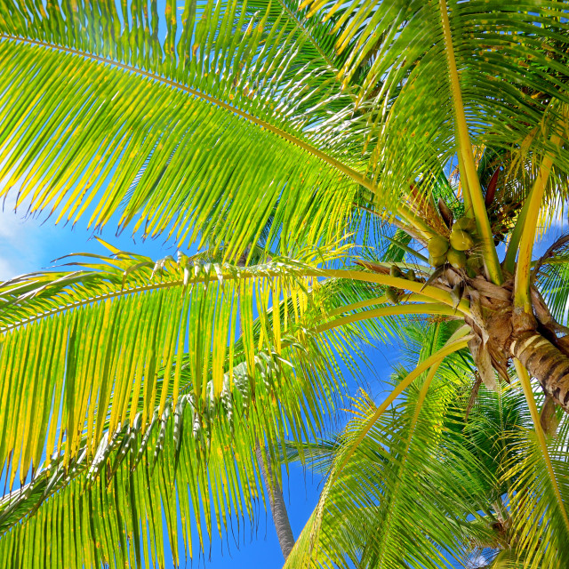 """""""Coconut palm trees in the blue sky with fluffy clouds perspectiv"""" stock image"""