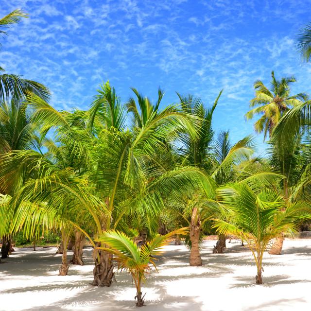"""Palm trees on tropical island Saona"" stock image"