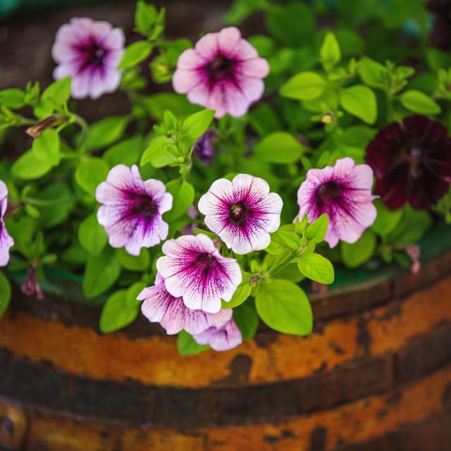 """""""Beautiful garden flowers in wooden vat"""" stock image"""