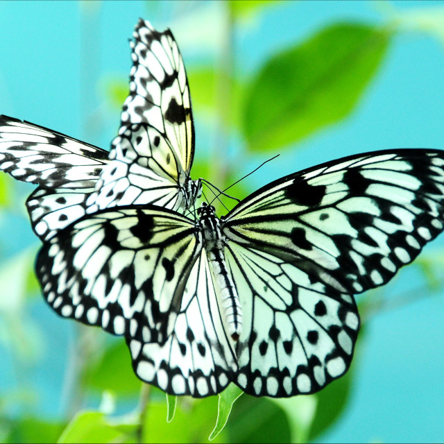 """Rice Paper Butterflies"" stock image"