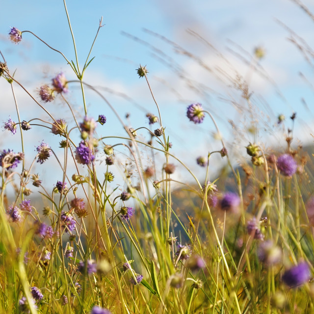 """Wild flowers against the blue sky"" stock image"