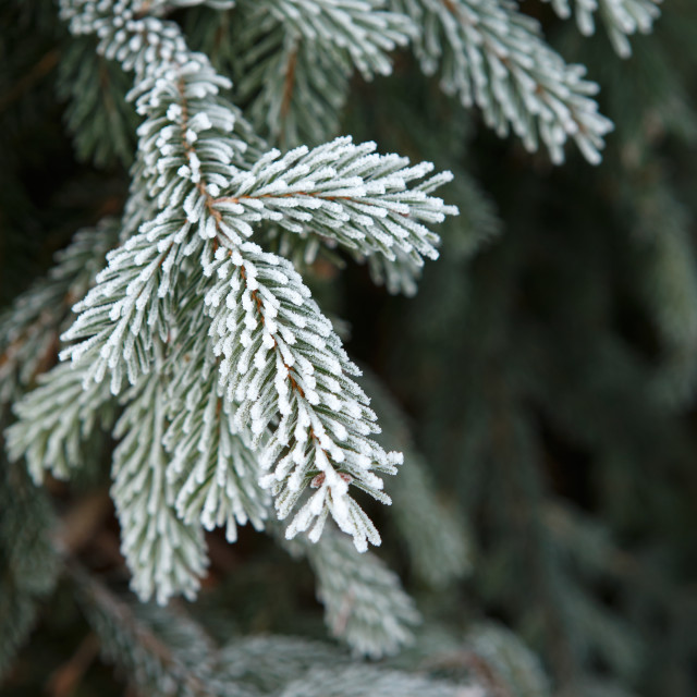 """Winter frost on spruce christmas tree close-up"" stock image"