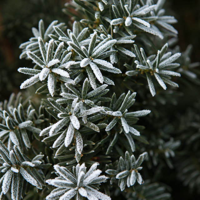 """Coniferous branches covered with hoarfrost. Close up."" stock image"