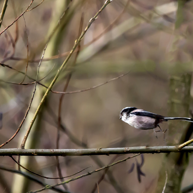 """Long Tailed Tit in Flight."" stock image"